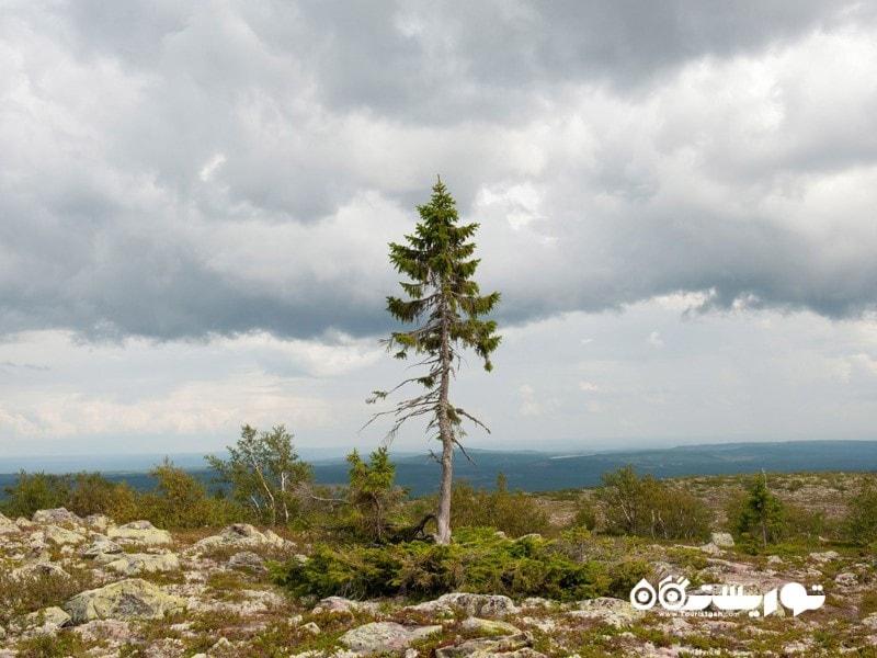 قدیمی ترین درخت جهان اولد تیجیکو Old Tjikko در سوئد با قدمت 9550