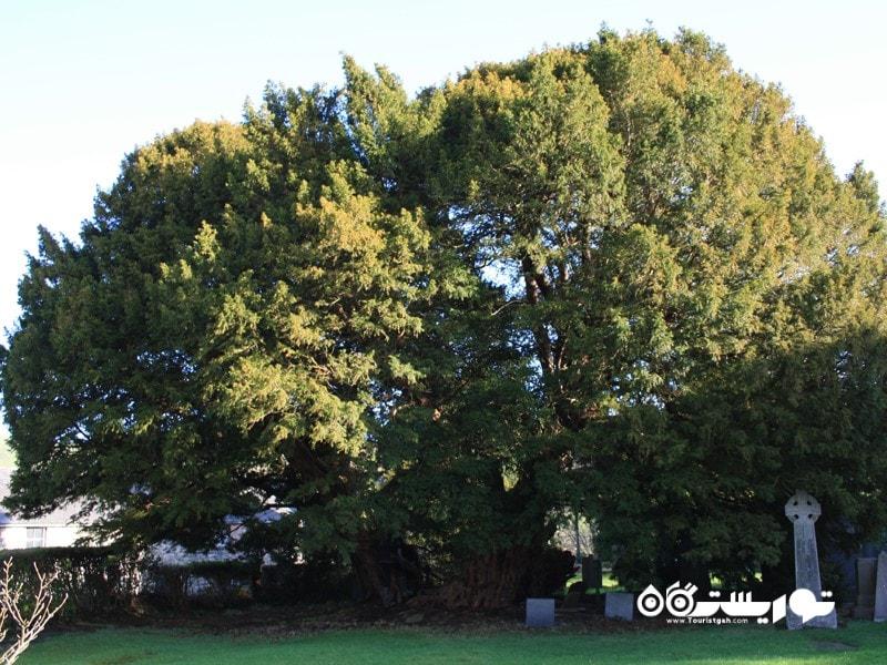سومین درخت قدیمی جهان لنگرنویو Langernyw در شمال ولز