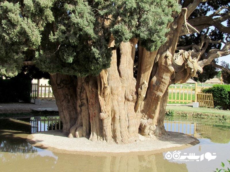 چهارمین درخت قدیمی جهان سرو ابرکوه یا سرو زرتشتی در ایران