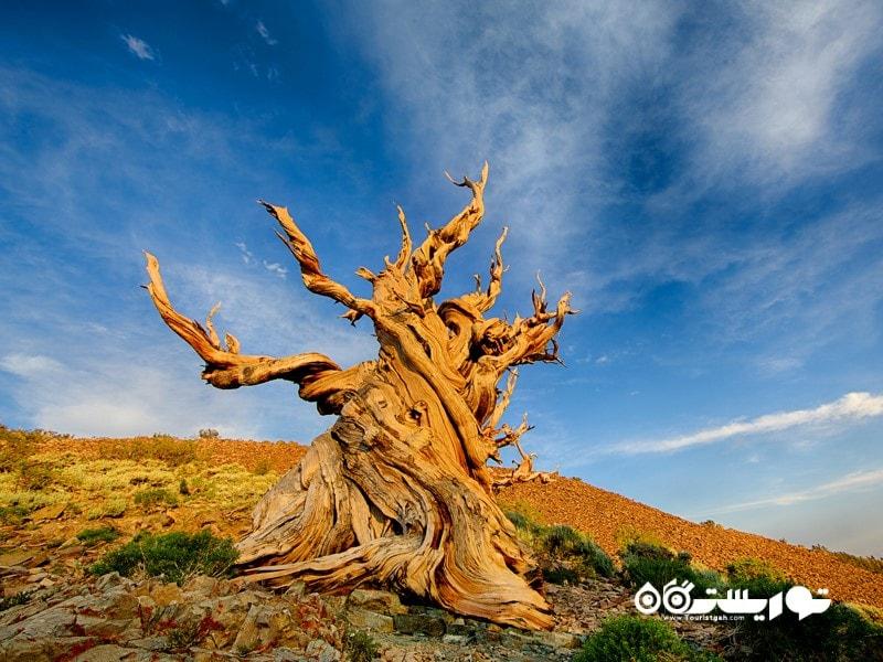 دومین درخت قدیمی جهان متوسلاه Methuselah)) در کالیفرنی