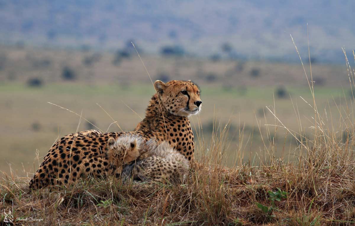 african-cheetah1