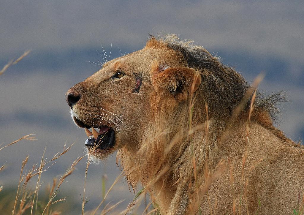 juvenile-lion