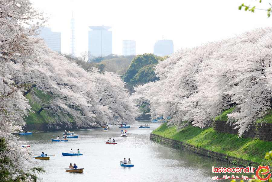 توکیو، شهر شکوفه های گیلاس