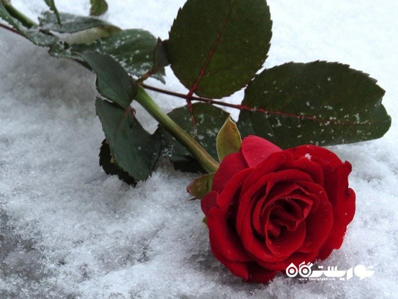 حدود 189 میلیون شاخه گل رز سرخ در روز ولنتاین