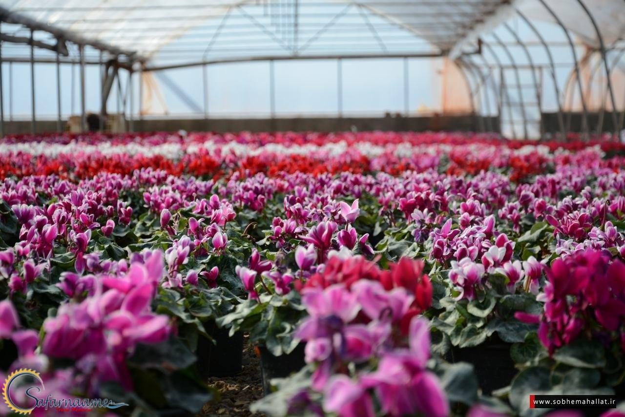 گلخانه های گل محلات